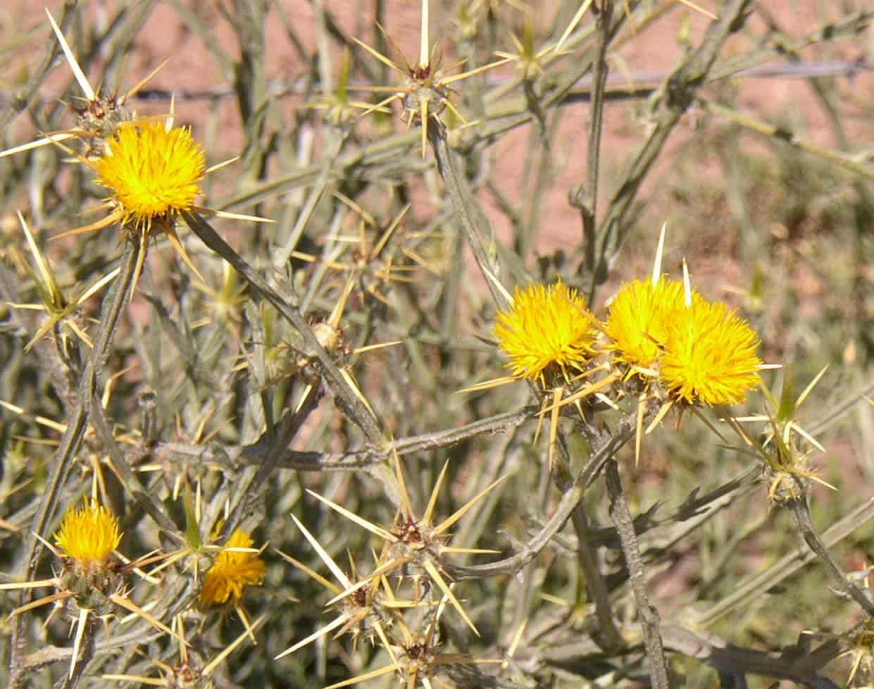 Target Listed Noxious Weeds Wallowa County